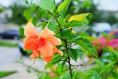 Fleur orange de rosa-sinensis de ketmie Photos stock