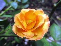 Fleur orange de Rose Images libres de droits