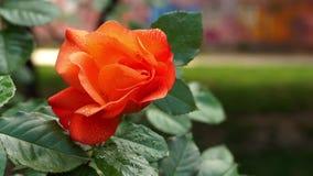 Fleur orange de Rose avec des gouttes de pluie closeup banque de vidéos