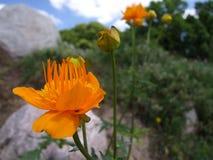 Fleur orange de Trollius dans le jardin de roche photographie stock