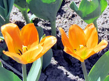 Fleur orange 2013 de tulipe de jardin de Toronto Images libres de droits