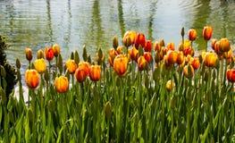 Fleur orange de tulipes de couleur au printemps Photos libres de droits