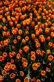 Fleur orange de tulipes de couleur au printemps Photographie stock
