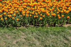 Fleur orange de tulipes de couleur au printemps Photo libre de droits