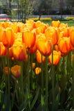 Fleur orange de tulipes de couleur au printemps Photographie stock libre de droits