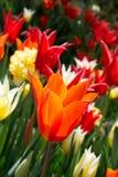 Fleur orange de tulipes de couleur au printemps Images stock
