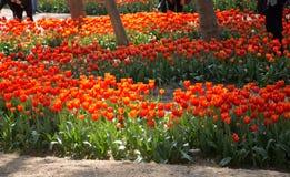 Fleur orange de tulipes de couleur au printemps Photos stock