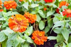 Fleur orange de zinnia Image libre de droits