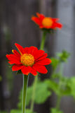 Fleur orange de zinnia Photo libre de droits