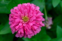 Fleur orange de zinnia Photographie stock libre de droits