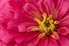 Fleur orange de zinnia Photos libres de droits