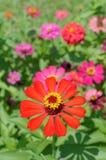 Fleur orange de zinnia Images libres de droits