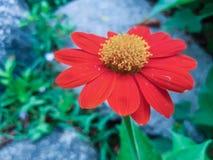 Fleur orange de zinnia Photographie stock