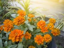 Fleur orange de zinnia belle avec la lumière du soleil dans le jardin image libre de droits