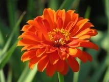 Fleur orange de Zinnia dans le jardin vert Photographie stock libre de droits