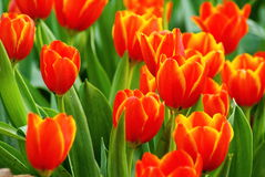 Fleur orange des tulipes Images stock
