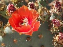 Fleur orange du figuier de barbarie images libres de droits