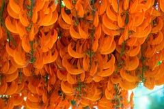 Fleur orange du nom Jade Vine ou plante grimpante ou flo rouge de la Nouvelle-Guinée Images stock