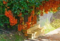 Fleur orange du nom Jade Vine ou plante grimpante ou flo rouge de la Nouvelle-Guinée Photo libre de droits