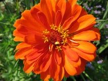 Fleur orange en gros plan de Zinnia Image libre de droits