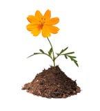Fleur orange en monticule de la terre Image libre de droits