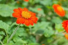 Fleur orange en nature photographie stock libre de droits