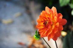 Fleur orange et jaune Image libre de droits