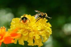 Fleur orange et jaune de champ avec une abeille Photographie stock