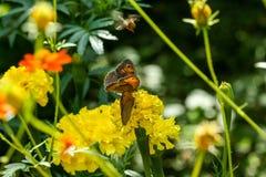Fleur orange et jaune de champ avec une abeille Photographie stock libre de droits