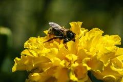 Fleur orange et jaune de champ avec une abeille Photo stock