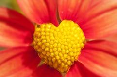 Fleur orange et jaune de forme de coeur Photo libre de droits