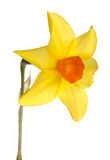 Fleur orange et jaune de jonquille Photos stock