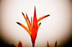 Fleur orange et rouge Photo stock
