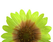 Fleur orange et verte après la pluie Fond d'isolement par blanc avec le chemin de coupure Plan rapproché sans des ombres Photos libres de droits