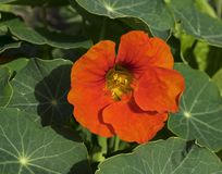 Fleur orange intense de nasturce image libre de droits