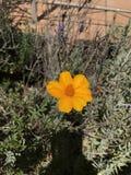 Fleur orange lumineuse Image libre de droits