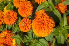 Fleur orange lumineuse de zinnia images stock