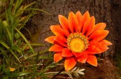 Fleur orange renversante Photo stock