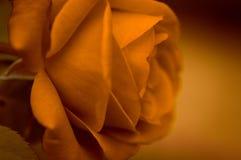 fleur orange rose de terre cuite en été dans une fin de jardin avec une lumière molle photos stock