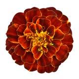Fleur orange rouge de souci d'isolement sur le fond blanc Images libres de droits