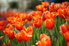 Fleur orange rouge de tulipe avec le fond de tulipe Photographie stock