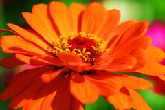 Fleur orange sereine de zinnia dans notre jardin image stock