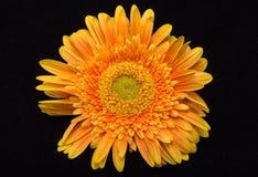 Fleur orange subtile de gerbera image libre de droits
