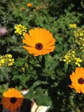 Fleur orange Stock Images