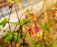 Fleur orientale de Columbine Photo libre de droits