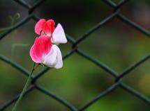 Fleur ornementale du pois Image libre de droits
