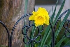 Fleur ou narcisse de jonquille Photo stock