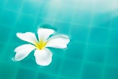 Fleur paisible simple de Plumeria flottant sur l'eau de ondulation claire Photos stock