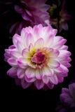 Fleur parfaite de dahlia avec le fond foncé photo stock