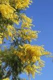 Fleur parfumée jaune de mimosa Image libre de droits